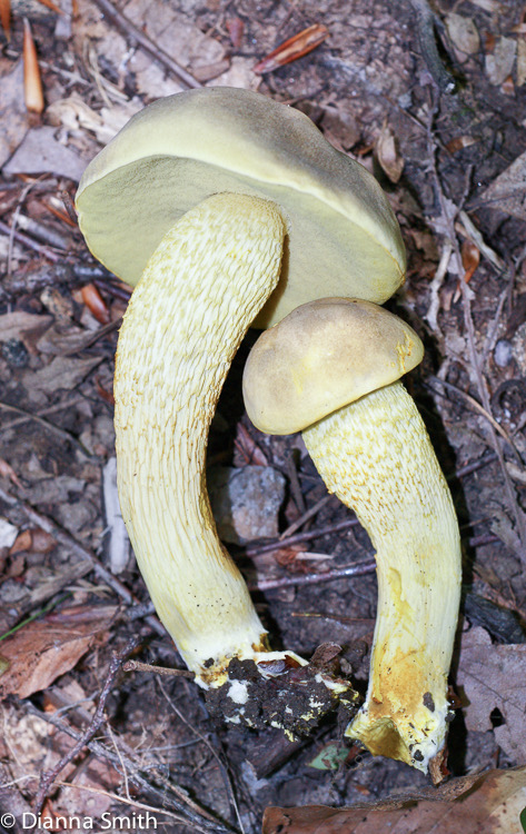 Retiboletus ornatipes (Boletus ornatipes)00350