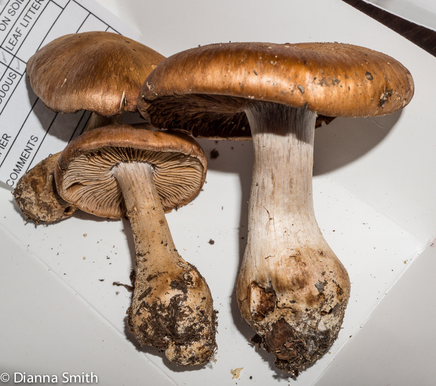 Cortinarius privignoides02736