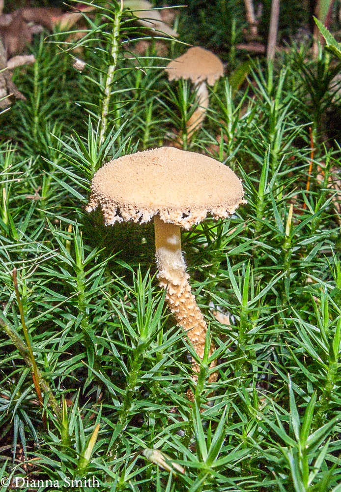 Cystoderma granulosum lacks a ring0337