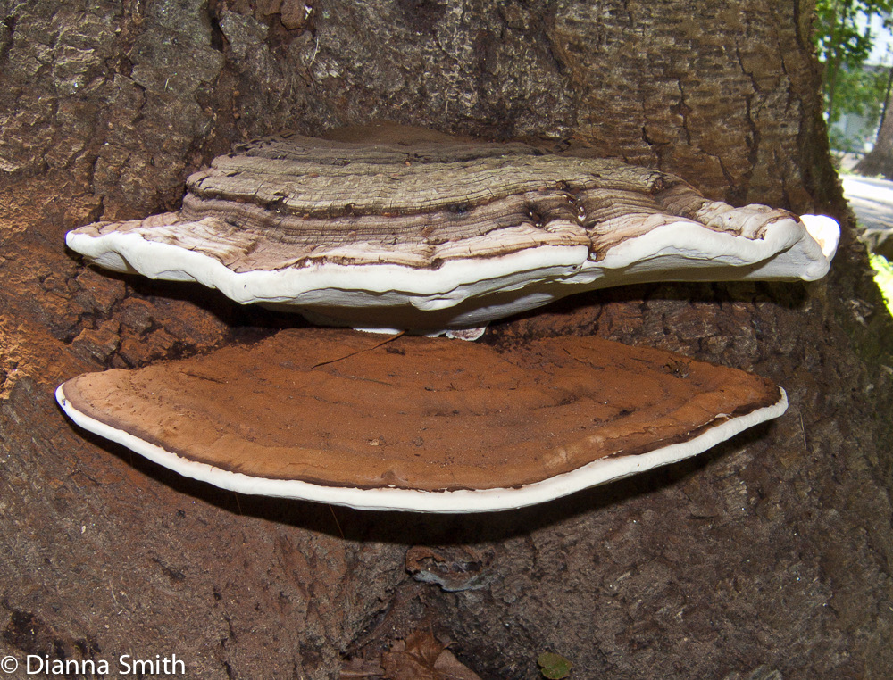 Ganoderma applanatum8630