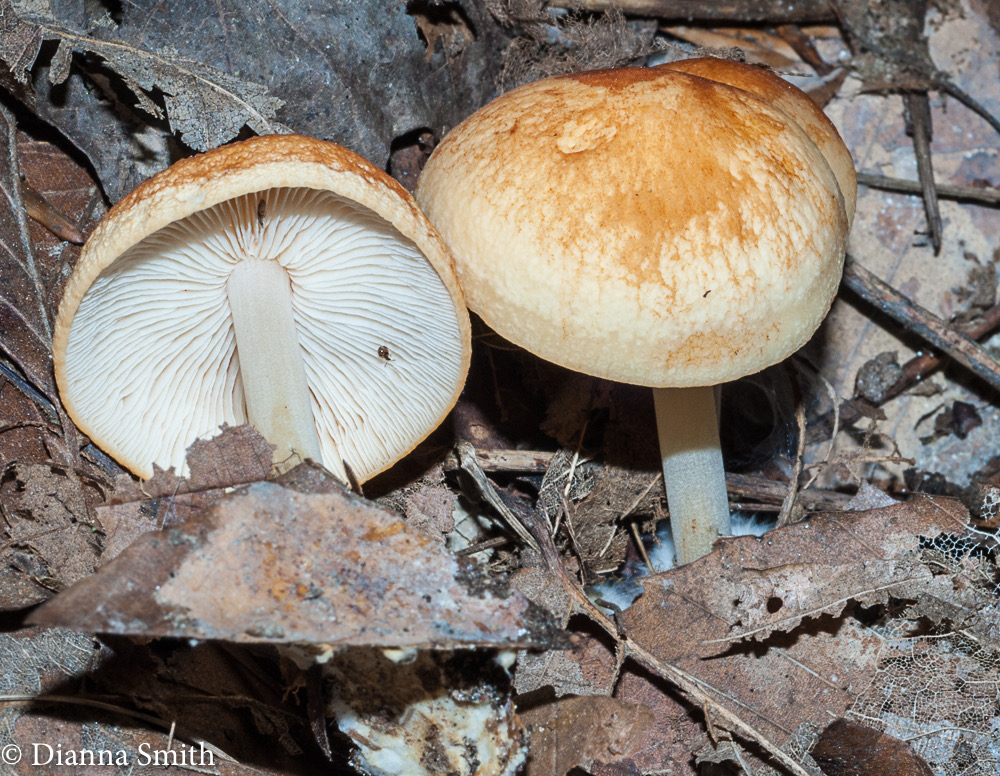 Marasmius strictipes  02822