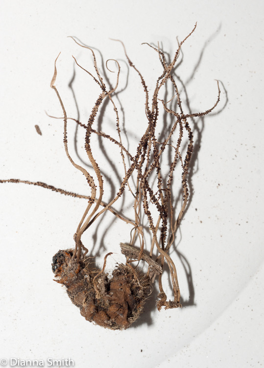 Ophiocordyceps michiganesis01509