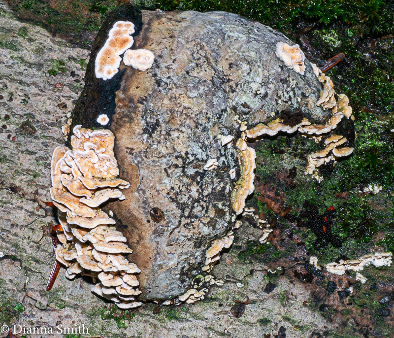 Orange zoned polypore - teeth?1010288