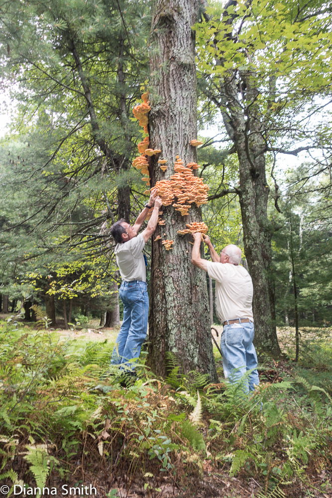 Roger and Michael collecting Laetiporus sulphureus1939