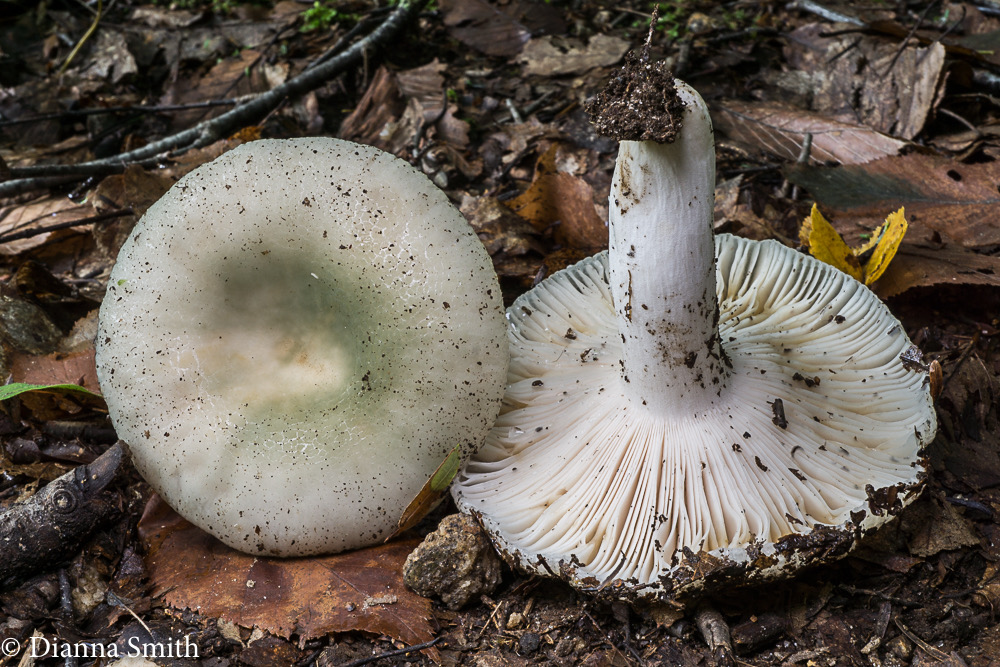 Russula aeruginea ?green 05513