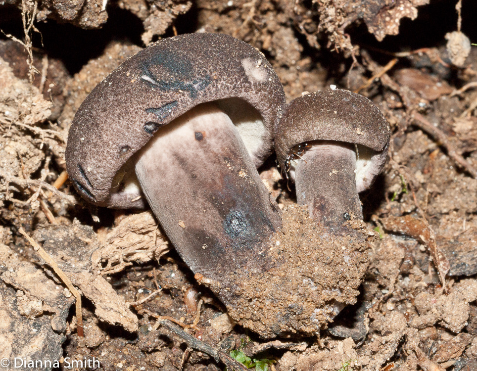 Tylopilus alboater02824