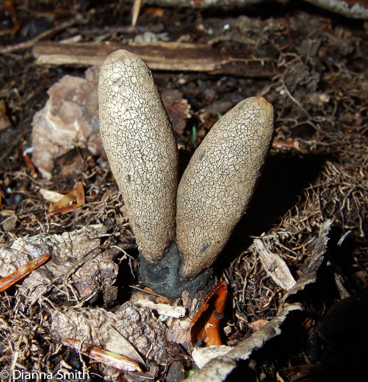 Xylaria longipes 8799