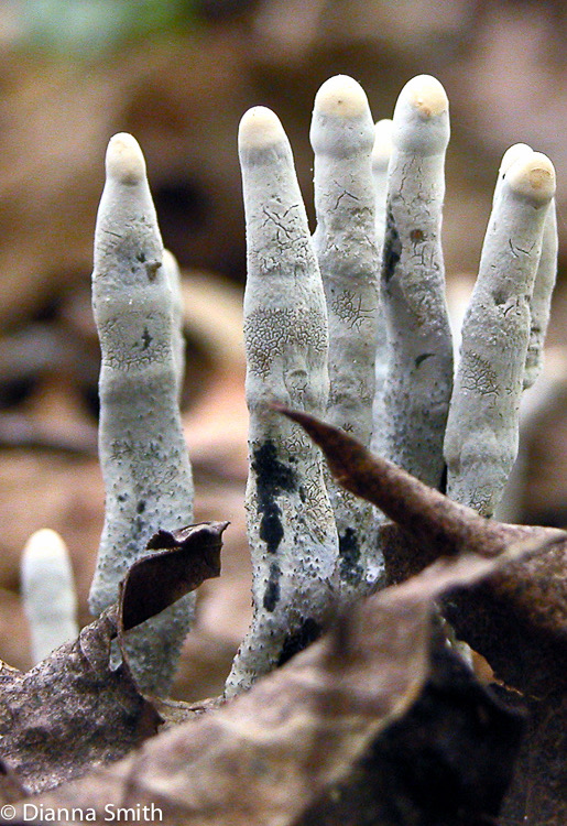Xylaria hypoxylon covered with asexual spores (conidia)4613